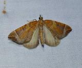 The chevron moth  (Eulithis testata), #7201