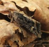 Noctuid moth (Helotropha reniformis), #9453