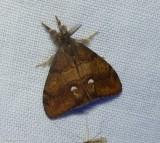 Rusty tussock moth   (Orgyia antiqua), #8308