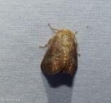 Crowned slug moth (Isa textula), #4681