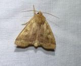 Pale enargia moth (Enargia decolor), #9549
