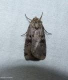 Norman's dart moth (Xestia normaniana), #10943