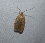 Four-dotted agnopterix moth (Agonopterix robiniella), #0882