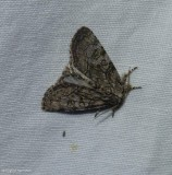 The brother moth  (Raphia frater), #9193