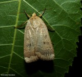 Greater red dart moth (Abagrotis alternata), #11029