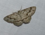Small engrailed moth  (Ectropis crepuscularia), #6597