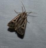 Dingy cutworm moth (Feltia jaculifera) , #10670