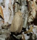 Oblong sedge borer moth (Capsula oblonga), #9449
