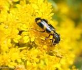 Checkered beetle  (Trichodes nuttalli)
