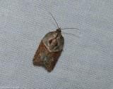Robinson's acleris moth (Acleris robinsoniana), #3536