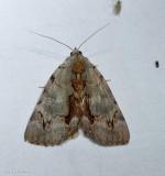 Woody underwing moth (Catocala grynea), #8864