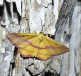 Chickweed geometer moth (Haematopis grataria), #7146