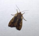 Hemina pinion moth (Lithophane hemina), #9893