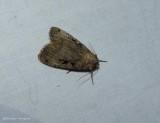 Norman's dart moth  (Xestia normanianus), #10943