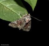 Wandering brocade moth (Fishia illocata), #9420