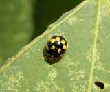 Fourteen-spotted lady beetle  (Propylea quatuordecimpunctata)