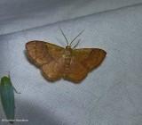 Light-ribboned wave moth (Leptostales ferruminaria), #7180