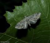 Juniper looper moth, (Eupithecia interruptofasciata), #7551