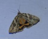 The penitent  underwing moth (Catocala piatrix), #8771