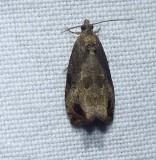 Tortricid moth (Olethreutes merrickana), #2803
