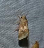 Erigeron flower moth (Schinia obscurata), #11118