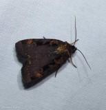 Pink-spotted dart moth (Pseudohermonassa bicarnea), #10950