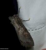 Purple arches moth (Polia purpurissata), #10280