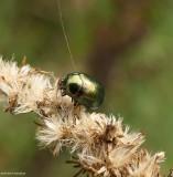 Leaf beetle (Chrysolina sp.)