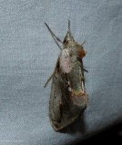 Pink-patched looper moth  (Eosphoropteryx thyatyroides), #8905