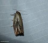 Striated tortrix moth (Archips strianus), #3664