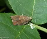 Green aspen leaftier moth (Pandemis canadana), #3595