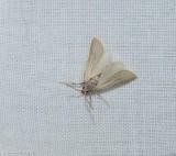 Water veneer moth (Acentria ephemerella), #5299