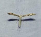Plume moth (Adaina montanus), #6157