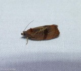 Spirea leaftier moth (), #2866