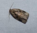 Gray archips moth (Archips grisea), #3660