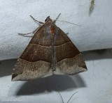 Maple looper moth  (Parallelia bistriaris), #8727