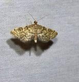 Yellow-spotted webworm  (Anageshna primordialis). #5176