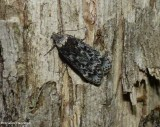 Pale-headed aspen leafroller moth  (Anacampsis niveopulvella), #2243