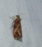 Leafroller moth (Tortricid)