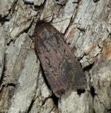 Clandestine dart moth (Spaelotis clandestina), #10926