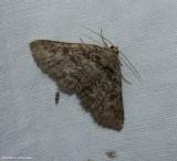 Hazel zale moth (Zale phaeocapna), #8698