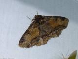 Colorful zale moth (Zale minerea), #8697