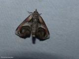 Eyed paectes moth  (Paectes oculatrix), #8957