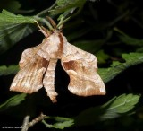 Walnut sphinx moth  (Amorpha juglandis), #7827