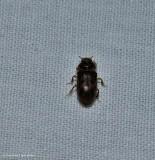 Variegated mud-loving beetle (Family: Heteroceridae)