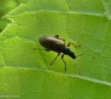 Brown leaf weevil  (Phyllobius oblongus)