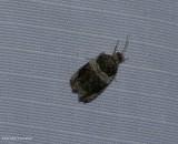 Banded olethreutes  moth (Olethreutes fasciatana), #2823