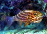 Nasty Looking Tiger Cardinalfish 'Cheilodipterus macrodon'