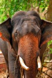 Domestic Indian Elephant