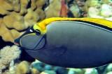 Unicornfish On Corals
